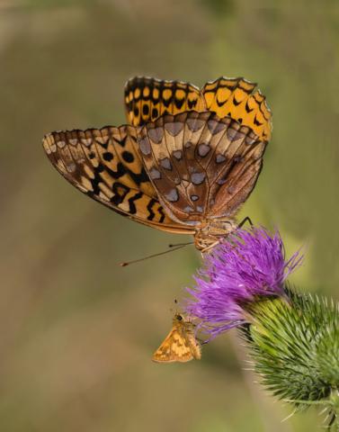 Great Spangled Fritillary; Pecks Skipper (Credit: Janet Markham)