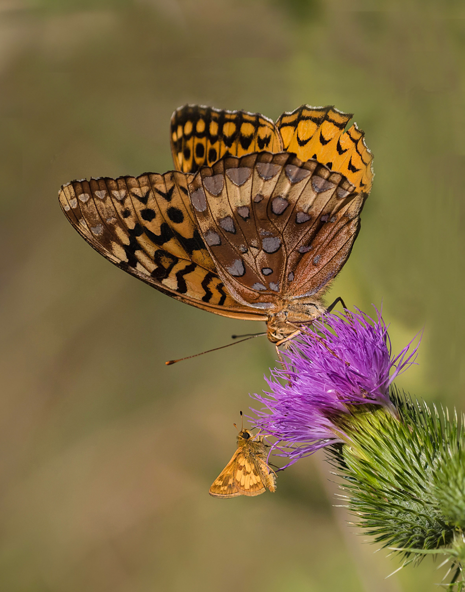 Great Spangled Fritillary; Pecks Skipper (Credit:  Janet Markman)