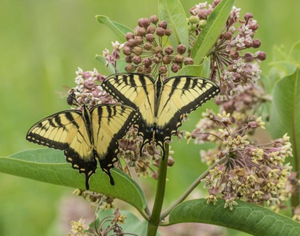 Eastern Tiger swallowtail on Common Milkweed (Credit: Janet Markham)