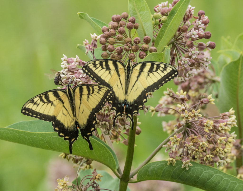 Eastern Tiger Swallowtails (Credit:  Janet Markman)
