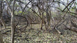Invasive Bush Honeysuckle