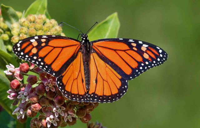 Monarch Butterfly (Credit: Janet Markham)