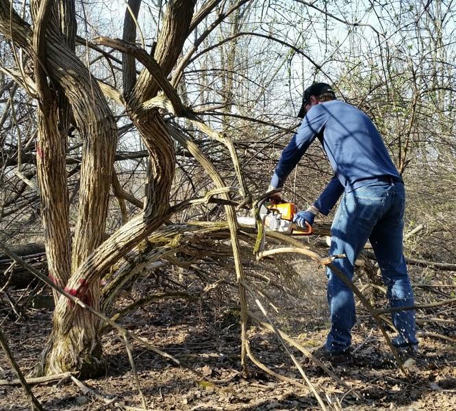 Removing invasive bush honeysuckle at Hilltop Reservation